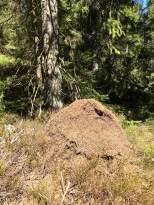 Wood ants have stacked pine needles to make this nest, which is almost three feet tall. The decaying needles help generate heat and also provide insulation to keep the brood warm.