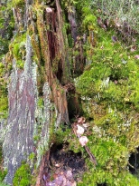 There must be about five or six species of mosses and lichens just on this stump.