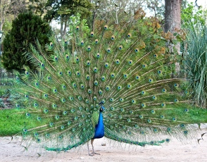 Peacocks were originally brought back as trophies from exotic lands by Portuguese explorers.