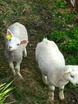 Little lambs.