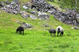 Sheep and goat cheese is big business in this part of Norway.