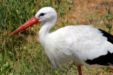 White storks (Ciconia ciconia) are less common in the Camargue.