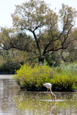 About 10 to 15,000 flamingo couples fly up from Africa to breed in the Camargue during the spring and summer. Each female lays just one egg in her nest made of mud.