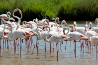 The Greater Flamingo (Phoenicopterus roseus) is the largest flamingo species. Most measure about as tall as I am (five feet), but some males tower at six feet tall.