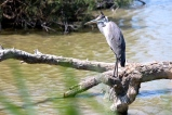 The Grey Heron (Ardea cinerea) looks a lot like our Great Blue Heron, but it's smaller.