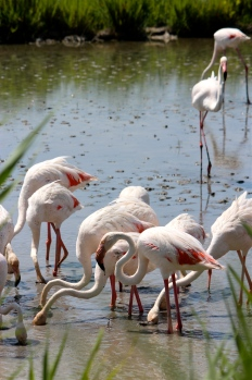 Flamingos filter food like shrimp and algae through their beaks, which have an unusual shape built for feeding with their heads upside down.