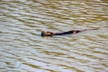 Representing the mammals in the swamp is the European Otter (Lutra lutra).