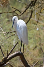 The Little Egret (Egretta garzetta) is the Old World counterpart to our Snowy Egret.