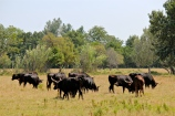 """Across the road from the restaurant was a ranch with lots of the famous """"black bulls of the Camargue"""" -- raised for centuries as the fighting bulls exported to Spain."""