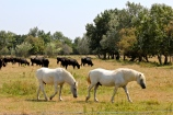 """Camarguais horses and bulls are reared together on many ranches in the Camargue. A type of cowboy called a """"gardian"""" rides the white horses to herd the bulls."""