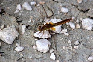 A giant dragonfly that kept strafing us.