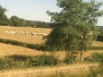 White Charolais cattle -- the most popular beef breed in France -- mozeys over toward some shade.