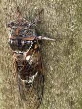 The raspy, rhythmic sawing of cigales (cicadas) is one of the signature sounds of Provence. Sometimes it's so loud that you practically have to yell to be heard.