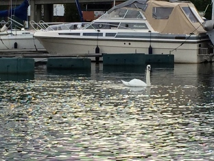 """I think this may be a Tundra Swan (Cygnus columbianus), perhaps the subspecies """"Whistling Swan,"""" so-named for its funny honk."""