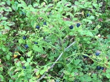 Blueberry bushes make up much of the undergrowth in Norwegian forests.