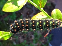 A cool caterpillar enjoys the blueberry bushes as much as we do.