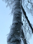 The snow provides a disguise for a BIrch tree, giving it the patchy, grey-camo bark of a Sycamore.