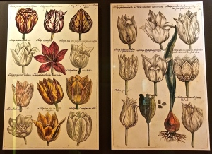 "Native Amsterdammer Emmanuel Sweerts created the world's first commercial nursery catalog.  Called the ""Florilegium,"" it was dedicated solely to documenting the beauty and value of tulips, of course."