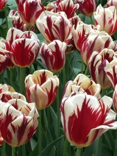 "Pictured is a Triumph tulip by the name of ""Grand Perfection."" It probably most closely resembles the famous ""Semper Augustus"" (""Forever Magnificent"") tulip, which commanded the highest prices in the 17th century. According to one source, ""Semper Augustus"" was worth: ""two cartloads of wheat, four cartloads of rye, four fat oxen, eight fat pigs, a dozen fat sheep, four casks of wine, two barrels of beer, two tons of butter, a thousand pounds of cheese, a bed, a silver chalice, several articles of clothing, and a ship to carry everything in."""