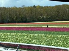 Farmers inspect growing tulips daily for insects and diseases. Just one unchecked diseased plant can wipe out an entire crop and devastate the farmer.