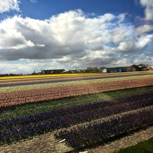 "BFields of flowers cover practically every square inch of the Netherlands Duin- en Bollenstreek (""Dune and Bulb"") Region."