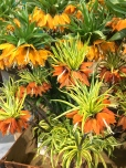 These orange Crown Imperials (Fritillaria imperialis) remind me of African Crowned Cranes with their crazy headdresses. Like the birds, the flowers are super tall -- about three feet.