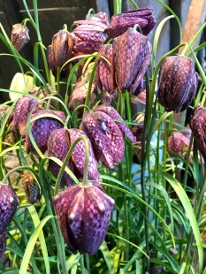 "I fell in love with ""Fritillaria meleagris"" years ago when visiting Glasgow, Scotland. The entire, forested front lawn of Charles Rennie MacIntosh's Hill House was carpeted with these delicate little flowers. They stand only about eight inches tall, and their dangling heads shiver in the slightest breeze. I once got them to bloom back home, nestled in between the roots of an oak, which sheltered them from the notorious Chicago wind. Their speckled appearance has given them the nicknames ""Guinea Hen Flower"" and ""Snake's Head."""