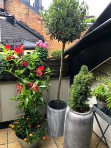 Check out what we've done with our Oslo terrace this year. Red Climbing Lilies (Gloriosa Rothschildiana) blossomed from bulbs we bought at the Amsterdam Tulip Museum.