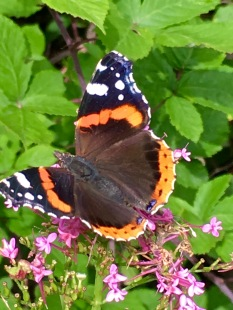 A beautiful Red Admiral (Vanessa atalanta) butterfly takes a drink from a Butterfly Bush (Buddleia).