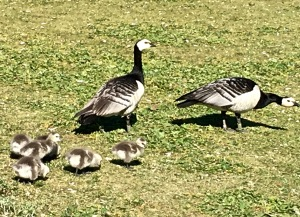 Behold a mama and papa Barnacle Goose (Branta leucopsis) with their adorable puffball babies. So freakin' cute!!!