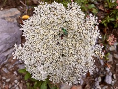 An irridescent Musk Beetle (Aromia moschata) forages on wild carrot (Queen Anne's lace / Daucus carota) growing along the trail.