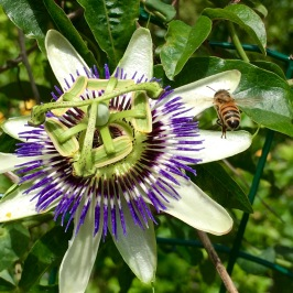 Passing by a farmer's field, we saw this Blue Passionflower (Passiflora caerulea) being tended to by a bee. Many of the grocers in town carried passionfruit as picnic fare.