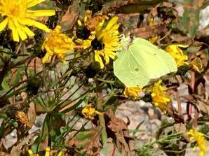 A male Common Brimstone (Gonepteryx rhamni) feeds on an Alpine Hawkweed (Hieracium alpinum L). This species is one of the longest lived butterflies, surviving for up to 13 months!