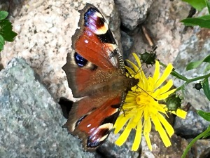 European Peacock (Aglais io) and Alpine Hawkweed (Hieracium alpinum L)