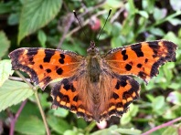 """The """"Comma"""" butterfly (Polygonia c-album) belongs to the """"Angelwing"""" family, so called for their frilly airfoils. A splotchy, backwards """"C"""" splattered across the dull underside of its wings resembles bird droppings, which helps camouflage the butterfly from predators and gives it the name """"Comma."""" (Sorry, I don't have a pic of this -- these little suckers are fast and super fluttery!)"""