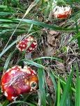 Wonder if slugs get high from eating the hallucinogenic Amanita muscaria mushroom?