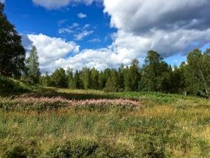 Wildflowers, Ullevålseter, Norway