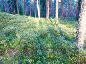 Blueberry bushes, Ullevålseter + Sognsvann + Frognerseteren Norway