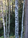 Along the trails at Sarabråten, informative labels help identify tree species. The birches on the left sport the smooth, horizontally striped bark of the Dunbjørk (Betula pubescens). In English we call it a White Birch or Moor Birch. The blotchy trunks on the right belong to the Hengebjørk (Betula verrucosa), or Hanging Birch, so called because the new growth at the end of its branches droops downward.