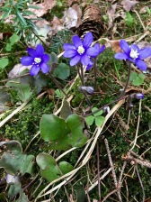 "Norwegians call these flower ""Blåveis"" (""blue ways"") and the English common name is ""blue anemone."" The official scientific name is ""Hepatica nobilis,"" meaning ""noble liver,"" because the plant's leaves are three-lobed like a human liver. Icky name for a pretty flower, though.)"