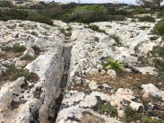 Why are the ruts in the same track so unevenly worn? (The left one varies in depth, shape, and size from the one on the right.) The difference could be due to the type of vehicle, the weight of the load, the frequency of use, and/or the terrain itself. Studies have shown that when Maltese limestone is wet, it loses 80% of its strength. So wherever storms have left standing water, the rock beneath the topsoil and vegetation weakens in that spot until the area dries. Erosion would occur unevenly, making some portions of the tracks deeper than others. And why so many tracks? Maybe when ruts got too deep and uneven, folks blazed a new trail.